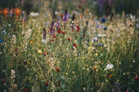 Een echte prairie, gewoon in uw eigen tuin!